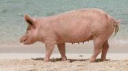 Female Pig on a Beach Stock Footage