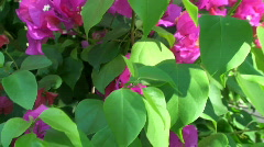 Bougainvillaea, bougainvilla Stock Footage