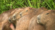 Stock Video Footage of Capybaras