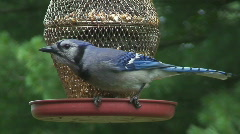 Blue Jay Eating off Feeder 1080HD Stock Footage