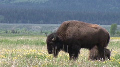 Sun lit buffalo in grand tetons park Stock Footage