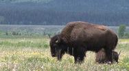 Sun lit buffalo in grand tetons park Stock Footage