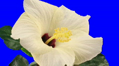 Time-lapse of white hibiscus flower opening 9a chroma key - stock footage