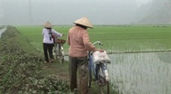 Vietnamese rice workers Stock Footage