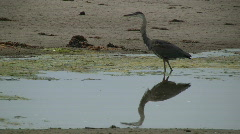 Heron Hunting In Shallow Water Stock Footage