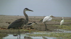 Birds Hunting In Shallow Water Stock Footage