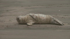 Seal pup Stock Footage