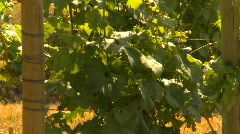 Vineyards early in season, zoom back and pan reveal Stock Footage