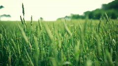 Sunny wheat fields - multiple versions Stock Footage
