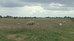 Sheep and lamb in a meadow Stock Footage