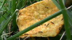 Ants on Chip Stock Footage