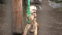 Captive white fronted capuchin monkey (Cebus albifrons) in a zoo Stock Footage