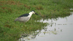 Black Crowned Night Heron Taking Flight 2 Stock Footage