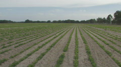 Peanut Field in North Central Florida Panning left Stock Footage