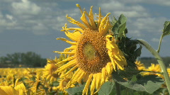 Honey bee scouring on a large sunflower Stock Footage