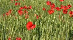 Poppy flowers on wheaten field. Stock Footage