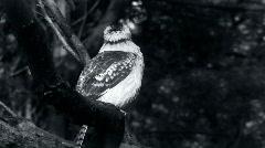 Kookaburra in Black and White - stock footage