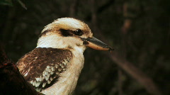 Kookaburra Stock Footage