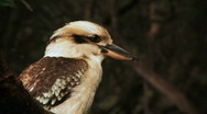 Stock Video Footage of Kookaburra