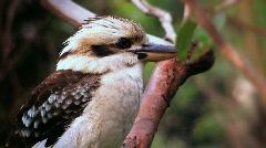 Kookaburra - stock footage