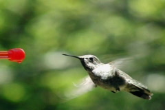 High Speed Camera : Hummingbird 1 Fly away 210fps Stock Footage