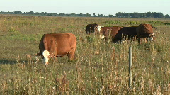 Stock Video Footage of Cows grazing