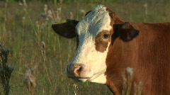 cows chewing - stock footage