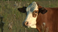 Stock Video Footage of cows chewing