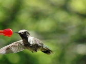 Stock Video Footage of High Speed Camera : Hummingbird 10 Fly away 1050fps