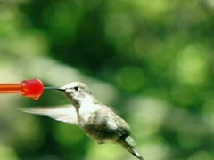 High Speed Camera : Hummingbird 13 Fly away 1050fps Stock Footage