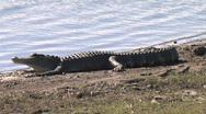 Alligator 001 Stock Footage