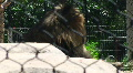 Lion behind fence Zoo HD HD Footage