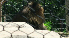 Lion behind fence Zoo HD Stock Footage