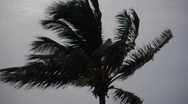 Stock Video Footage of Palm tree in the Wind