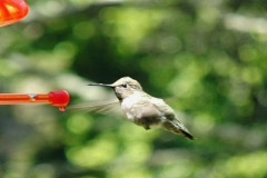 High Speed Camera : Hummingbird 5 fly away 700fps Stock Footage