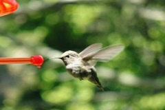 High Speed Camera : Hummingbird 7 Poop 700fps Stock Footage