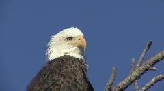 P00102 Bald Eagle Closeup of Head Stock Footage