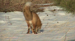 P00104 Red Fox Digging in Snow for Prey Stock Footage