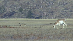 P00106 Pronghorn Antelope and Coyotes Stock Footage