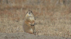 P00108 Black-tailed Prairie Dog in Winter Stock Footage