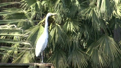 P00114 Great Egret Stock Footage