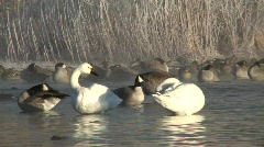 P00118 Tundra Swan Pair Grooming Stock Footage