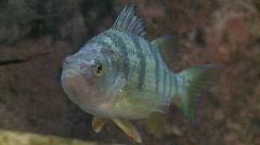 P00126 Yellow Perch Underwater Stock Footage