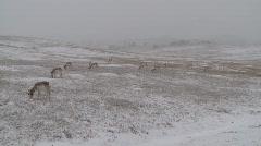 P00133 Pronghorn Antelope Herd in Winter Snow Stock Footage