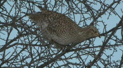 P00137 Sharp-tailed Grouse Feeding in Tree - stock footage