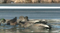 P00139 Puddle Ducks Feeding Stock Footage