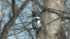 P00141 Belted Kingfisher Stock Footage