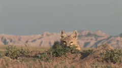 P00148 Closeup of Swift Fox Resting Stock Footage
