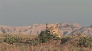 P00148 Closeup of Swift Fox Resting Stock Footage
