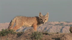 P00149 Swift Fox Closeup Stock Footage